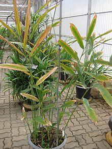 220px-Gardenology.org-IMG_7562_qsbg11mar