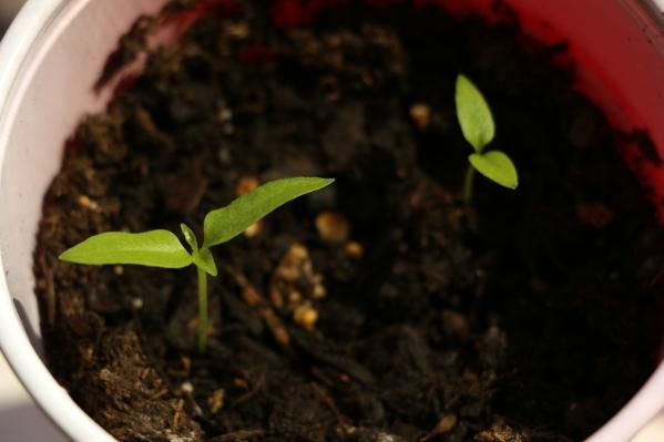 Trinidad_Scorpion_Butch_T_Sprouts.JPG