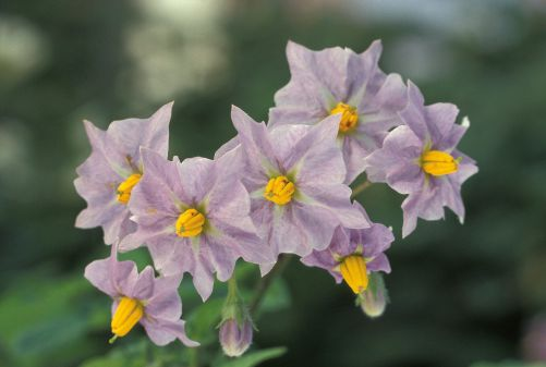 Potato_flowers.jpg